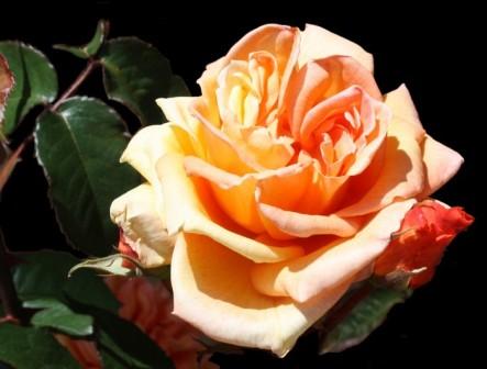 fleur-rose-orangée-6-x700